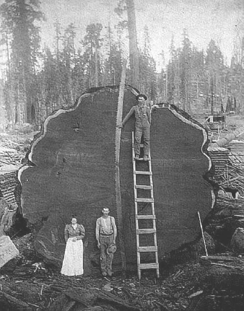 big-tree-crosscut-saw.jpg