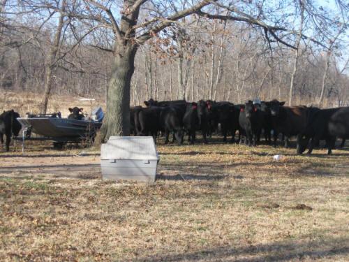 cows2_small.jpg
