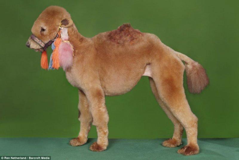 poodle_camel.jpg